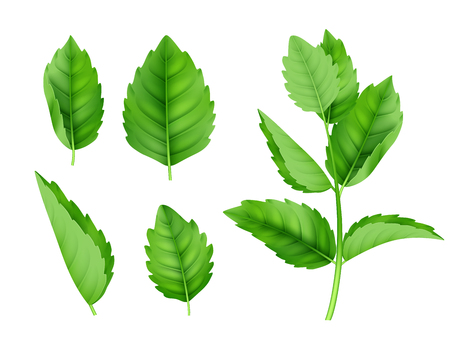 Mint leaves. Menthol spearmint fresh smell nature product vector realistic template. Illustration of menthol and mint, herb spearmint
