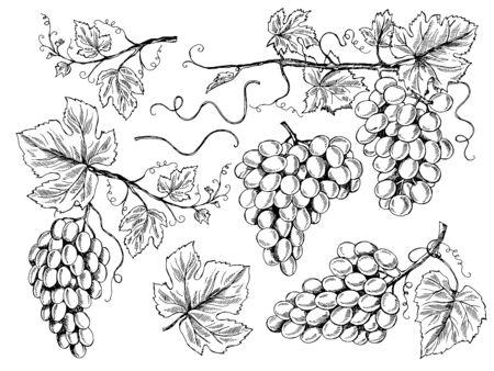 Grape sketch. Floral pictures wine grapes with leaves and tendrils vineyard engraving vector hand drawn illustrations. Vine sketch graphic, vineyard crop, fruit grapevine Vektorové ilustrace