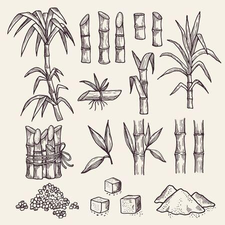 Canne à sucre. Plantes dessinées à la main de vecteur de plantation d'agriculture de récolte de sucre frais. Canne à sucre naturelle, récolte de plantes, illustration de sucre de canne
