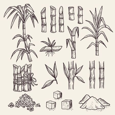 Sugar cane. Fresh sugar harvest agriculture plantation vector hand drawn plants. Sugarcane natural, plant harvest, cane sugar illustration Illustration