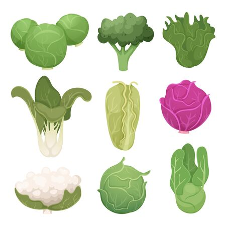 Cabbage pictures. Farm vegetarian ingredients eco diets green food vector illustrations. Agriculture cabbage and vegetarian food, green natural plant