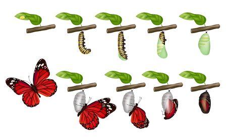 Schmetterlingszyklus. Leben von Insekten Larven Kokon grub Puppen Raupen ändern Vektorkonzept. Illustration Schmetterling und Raupe, Insektenfliege Vektorgrafik