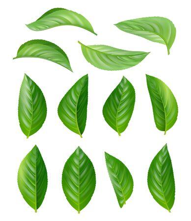 Green tea leaves. Eco natural plants aromatic hot drink vector leaves realistic pictures set. Illustration tea drink, leaf plant herbal