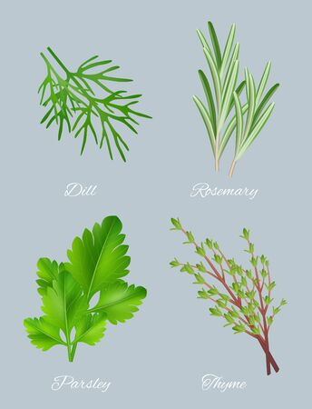 Green herbs. Realistic species for culinary medical plants food aromatic ingredients healthy leaves vector template. Illustration herb ingredient dill and parsley