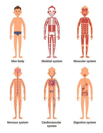 Body anatomy of men. Nerves and muscular systems, heart and other organs. Vector illustration set Vector Illustratie