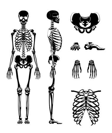 Vector silhouette of human skeleton. Anatomy pictures. Different bones