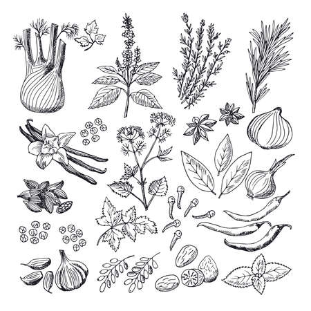 Sketch illustrations of spices and herbs. Vintage hand drawn vector pictures Vetores