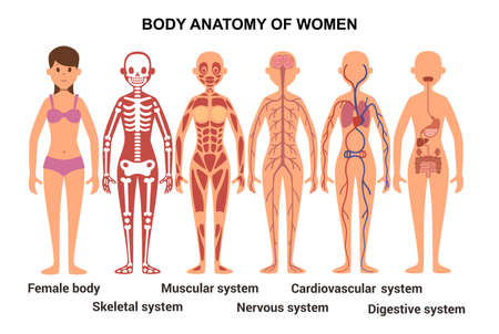 Anatomy of the female body. Skeletal and muscular system, nervous and circulatory system, human digestive system. Vector illustration