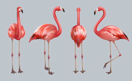 Realistic flamingo. Exotic tropical birds pink color animate poses wildlife decent vector collection illustrations