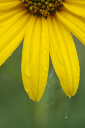 gossamer: Part of a yellow flower with drops of dew close up