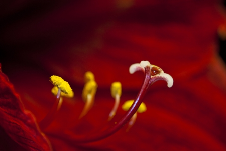 Stamens and a pestle of a red lily close up