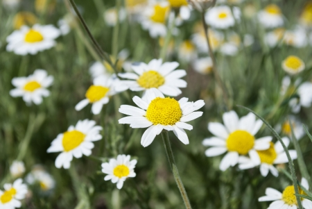 Wild camomile close up against a blossoming field Stock Photo