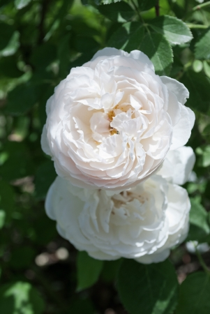 Two white flowers of a rose on a bush