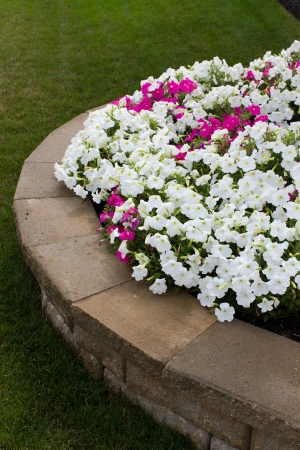 flower bed: White and some pink petunias are on the brick retaining wall