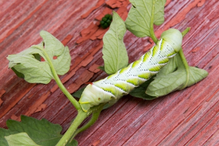 larval: Close up high angle view of a large segmented green caterpillar on a small twig of leaves Stock Photo