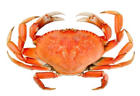 cangrejo: Cocido toda cangrejo Dungeness con marcas naturales de la cáscara y aisladas sobre fondo blanco