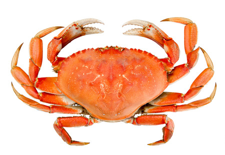 Cooked whole dungeness crab with natural marks on the shell and isolated on white background photo