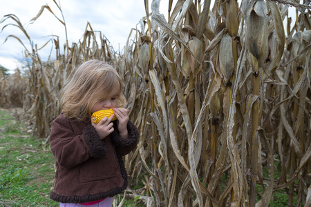 Little girl trying to eat dry corn ear in the cornfield around crop time photo