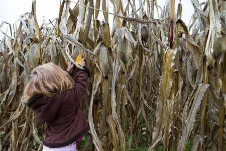 genetically modified: Little girl trying to pick dry corn ear in the cornfield around crop time