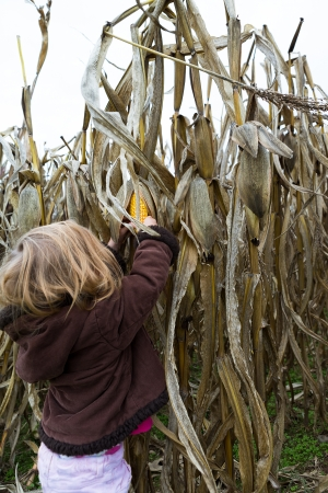 Little girl trying to pick dry corn ear in the cornfield around crop time photo