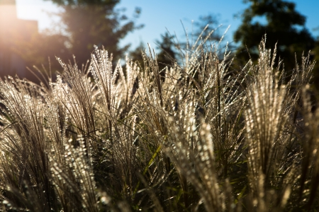 ornamental horticulture: Ornamental grasses in the neighborhood