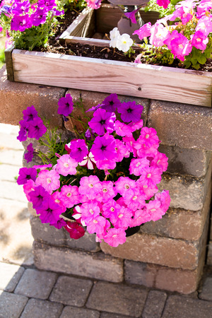 Pink and purple petunias hanging on the pillar creating stylish nice accent distinctive look photo