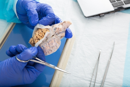 animal body part: Pathologist opening a tissue sample in the laboratory in order to conduct in vitro or post mortem analysis to diagnose a disease or confirm the cause of death