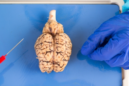 brainstem: Whole cow brain viewed from above showing the two hemispheres and the brainstem as it lies on the dissecting table of a pathologist or physiology student Stock Photo