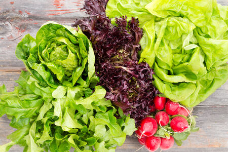 wood agricultural: Overhead view of heads of assorted leafy fresh lettuce with a bunch of crisp red radishes arranged on old rustic wooden boards in a country kitchen