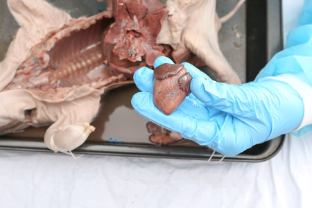 dissection: Hands with blue protective gloves dissecting a fetal pig and holding hearth
