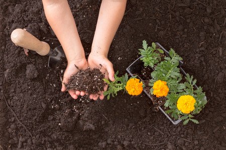 Overhead view of a small childs hands cupping rich brown earth while learning to transplant colorful yellow and orange marigold seedlings into the garden