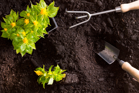 Transplanting yellow celosia flowers, or amaranth, in the garden with a tray of seedlings standing on rich brown fertile soil with a small garden trowel and rake during spring, overhead view