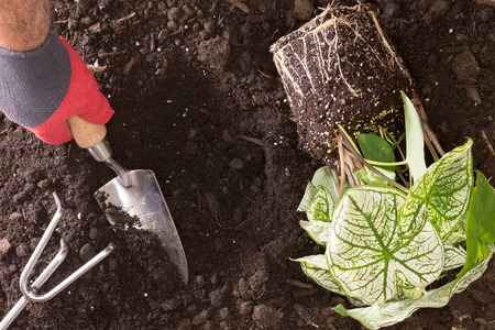 nurseryman: Close up view from above of the hand of a man in a gardening glove transplanting Lasting Love Caladium, a variegated bicolour ornamental plant, into a hole in the ground