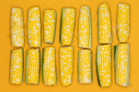 Fresh ripe yellow corn on the cob lined up in a double row on a yellow background