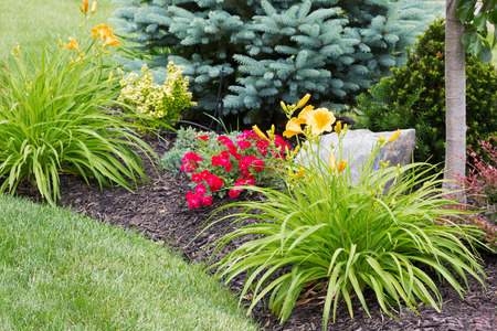 Flowering yellow tiger lilies in a newly landscaped ornamental flowerbed with colorful red flowers and evergreen trees Banque d'images