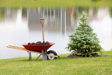 evergreen trees: Planting an ornamental evergreen cypress or conifer on the bank of a tranquil lake with a wheelbarrow full of potting soil or manure and a spade standing on the manicured lawn