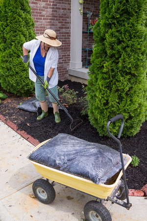 spread around: Senior woman mulching around arborvitaes, an evergreen tree also known as thuja, using a rake to spread the mulch over the soil with a bag of mulch in the foreground Stock Photo