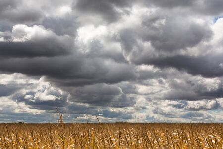 stormy sky: Dramatic clouds gathering for a storm over a ripe corn field ready for harvest in midwest USA