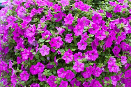 bright pink or magenta petunias flowering in spring outdoors in a garden photo
