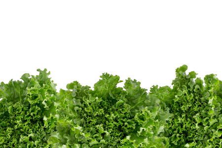 Bottom border of crisp fresh frilly leafy green lettuce for a salad ingredient or garnish isolated on white with copyspace