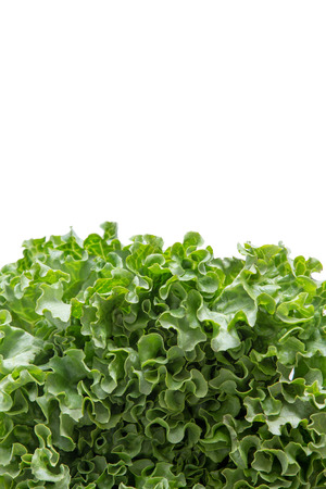 copys pace: Bottom border of newly Harvested fresh frilly green lettuce for a salad ingredient or garnish isolated on white with copys pace, vertical with clipping path Stock Photo