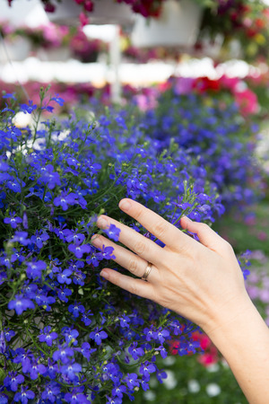 seeks: Woman choosing flowers in a nursery gently placing her hand on a colorful display of blue potted flowers as she seeks to beautify her house in the new spring season, close up of her hand Stock Photo