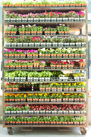 flower nursery: Wheeled shelves full of potted seedlings with a variety of colorful flowers in a nursery ready to be purchased by gardeners for their spring gardens or as houseplants in a floriculture concept Stock Photo