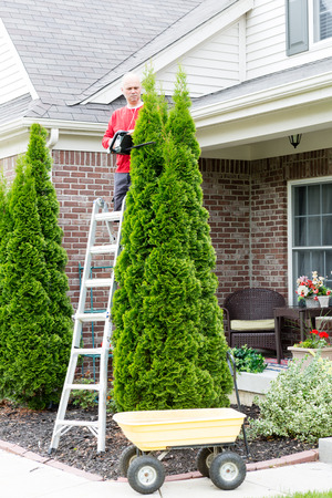 thuja: Male Gardener Trimming Tall Thuja Occidentalis Thuja Occidentalis Plant Using Stepladder and Hedge Trimmer at the Backyard Stock Photo