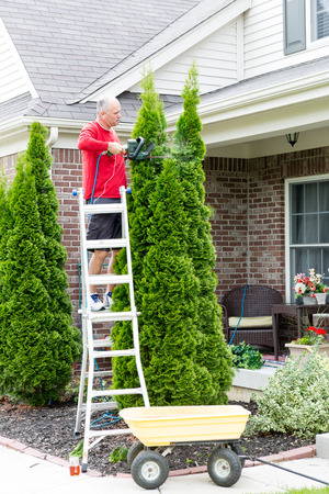 hedge plant: Senior Man on a Steel Ladder Cutting Tall Thuja Occidentalis Plant Using Hedge Trimmer Tool Outside the House. Stock Photo