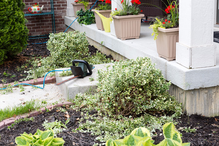 Hedge trimmer being used to trim foliage plants at the entrance to a house during a springtime maintenance program in the back yard photo