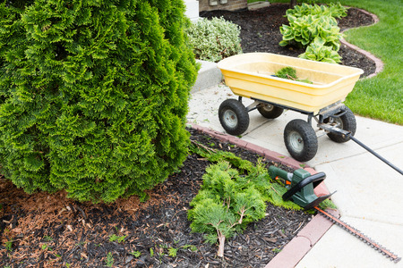 thuja: Garden tools used to trim arborvitaes in spring with a handheld hedge trimmer and small yellow metal cart standing alongside the evergreen Thuja trees