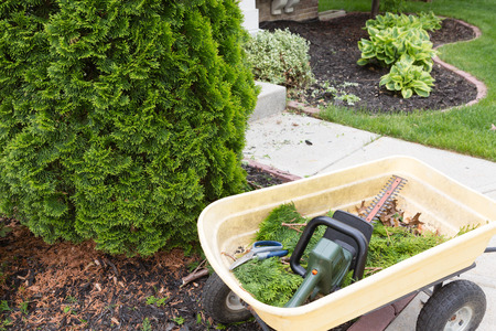 Using a hedge trimmer to trim Arborvitaes or evergreen Thuja trees around the house to maintain their ornamental tapering shape in spring photo