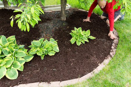 Gardener doing mulch work around the house kneeling down on a lush green lawn to spread the organic mulch by hand at the edge of the formal flowerbed