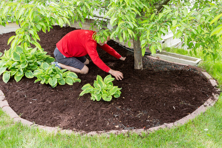 Male gardener working in the garden doing the mulching at the start of spring kneeling in a flowerbed spreading the mulch around a tree trunk